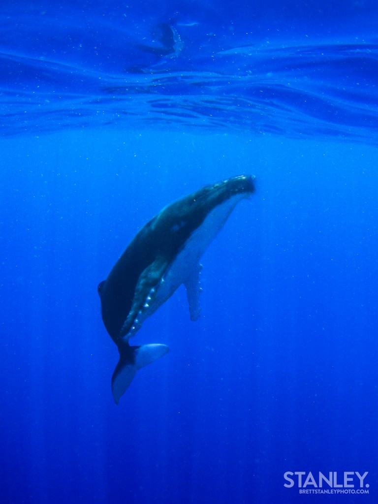 Humpback Whale Tonga - Brett Stanley Photography